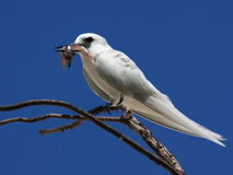 Bird with a catch. White tern, angel tern, white noddy, Gygis alba. Bird with a catch. White tern, angel tern, white noddy (Gygis alba)  is a small seabird found Royalty Free Stock Photography