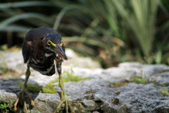 Bird catches bug. Small tropical yellow-eye bird with bug in beak  perched on rocky surface. Vizacaya Museum, Miami, Florida Royalty Free Stock Photography
