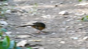 Bird catches a worm. Bird catches a worm on ground in tropical rain forest stock video