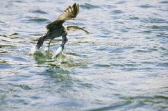 Bird Catching A Fish Stock Images