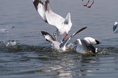Bird catching fish Royalty Free Stock Photo