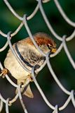 Bird in a cell. City curious sparrow Royalty Free Stock Photography
