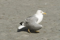Bird in the center of Varna town. Yello-legged gull. Selective focus Royalty Free Stock Image