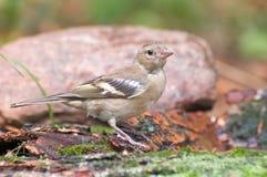 Bird   chaffinch Royalty Free Stock Image