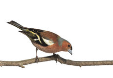 Bird Chaffinch On A Branch In The Park On A White Isolated Background