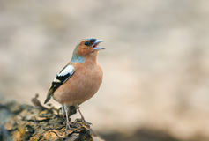 Bird Chaffinch in the Park on a tree and sings Royalty Free Stock Image