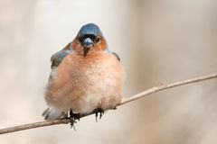 The bird is  Chaffinch singing in the forest in spring Stock Image