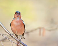 Bird is a Chaffinch sings on a branch in the Park Stock Images