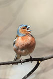 Bird Chaffinch sings sitting in the Park on a branch. Spring bird Chaffinch sings sitting in the Park on a branch royalty free stock photo