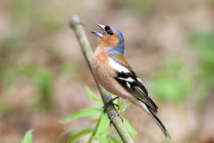 Bird Chaffinch sings a song in  forest. Bird Chaffinch sings a song in spring green forest Royalty Free Stock Photography
