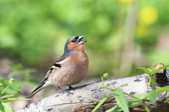 Bird Chaffinch sings a song in  forest. Bird Chaffinch sings a song in spring green forest Royalty Free Stock Images