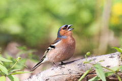 Bird Chaffinch sings the song standing on a branch. In spring Park Royalty Free Stock Photos