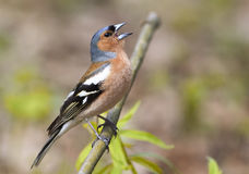 Bird Chaffinch sings the song standing on a branch. In spring Park Royalty Free Stock Image