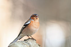 Bird Chaffinch sings the song standing in the spring forest in S. Unny day Stock Photo