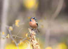 Bird Chaffinch sings the song while standing on a stump in the f Stock Image