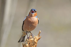 Bird Chaffinch sings the song while standing on a stump in the f Royalty Free Stock Photo
