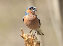 Bird Chaffinch sings the song while standing on a stump Royalty Free Stock Photography