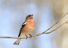 Bird Chaffinch sings a sonorous song on a branch in spring in th. Chaffinch sings a sonorous song on a branch in spring in the Park Stock Photography