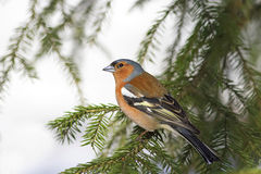 Bird Chaffinch sits among the green fir tree branches Stock Photography