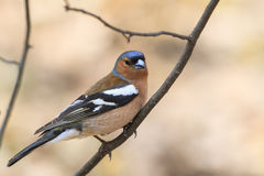 A bird Chaffinch in spring on a Sunny day Royalty Free Stock Photos