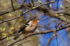 Bird (chaffinch) Royalty Free Stock Images