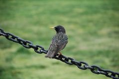 Bird on chain Stock Images