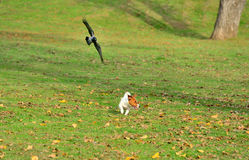 Bird chasing dog in park. Bird chasing dog outside in park royalty free stock photo