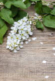 Bird cherries blossom on rustic wooden table Royalty Free Stock Photography