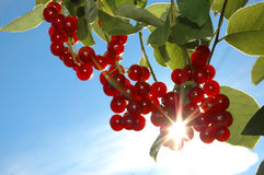 Bird cherry. Brushes of a bird cherry against the blue sky. Sun beams go through berries Stock Photography
