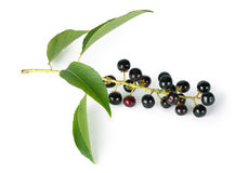 Bird cherry. Branch with berries isolated on a white background Stock Image