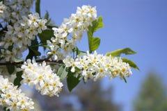 Bird cherry. Beautiful branch of a blossoming bird cherry close up Stock Image