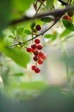 Bird cherry. Red bird cherry on the branch Royalty Free Stock Photos