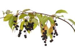 Bird cherry. Fruits bird cherry and leaf on branch Stock Image