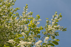 Bird cherry. Beautiful branch of a blossoming bird cherry close up Royalty Free Stock Photo