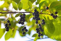 Bird cherry. A branch of the bird cherry (Prunus padus) tree with ripe berries in the rays of sunlight Stock Images