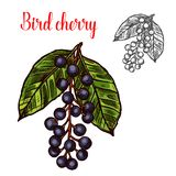 Bird cherry vector sketch fruit berry icon. Bird cherry berry color sketch icon. Vector botanical design of bird cherries or hackberry and hagberry fruits bunch royalty free illustration