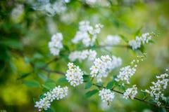 Bird cherry in bloom Stock Images