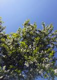 Bird cherry blooms. Bird cherry blossoms against the background of the sunny sky Royalty Free Stock Images
