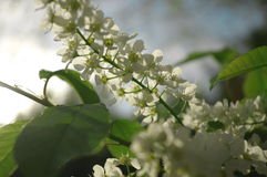 Bird cherry blooms season bush close-up. Photo Royalty Free Stock Images