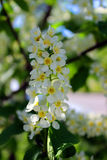 Bird cherry blooms. In the spring - May came Stock Images