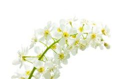 Bird cherry blossom Royalty Free Stock Photo