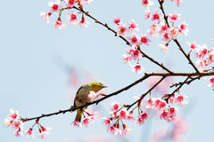 Bird on cherry blossom. Branch royalty free stock photography