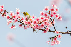 Bird on cherry blossom. Branch royalty free stock images
