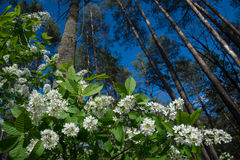 Bird cherry blossom in forest Stock Images