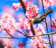 Bird and cherry blossom or sakura Stock Photography