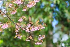 Bird on Cherry Blossom and sakura Stock Photography
