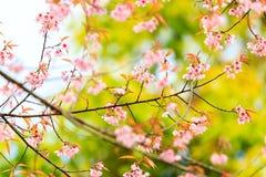 Bird on Cherry Blossom and sakura Stock Photos