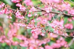 Bird on cherry blossom Stock Photos
