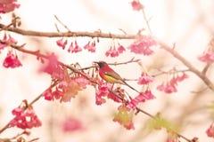 Bird on cherry blossom Royalty Free Stock Photos