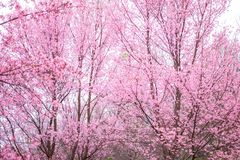 Cherry Blossom pink sakura Flower oriental  phu lom lo Loei Thailand Royalty Free Stock Images